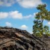 SAVING THE 'ŌHI'A TREE